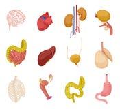 Organi umani isometrici I polmoni del fegato dell'intestino della vescica del rene del cuore del cervello tollerano l'insieme di  illustrazione di stock