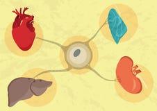 Organi umani laboratorio-crescenti sintetico Futuro di medicina e di trapianto illustrazione di stock