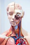 Organi umani, modello Fotografia Stock Libera da Diritti