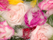Organic abstraction fragrant roses royalty free stock image