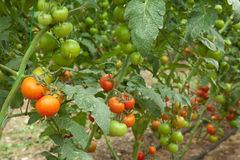 Organic agriculture. Tomatoes growing in a greenhouse Royalty Free Stock Image
