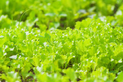Organic Agriculture: garden beds with lettuce Stock Photo