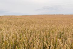 Organic agriculture - wheat field with copy space.  Royalty Free Stock Photography