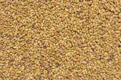 Organic Alfalfa Seeds Royalty Free Stock Photos