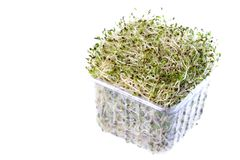 Organic Alfalfa Sprouts Royalty Free Stock Images