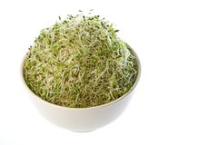 Organic Alfalfa Sprouts Stock Photography