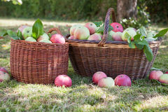 Organic apple harvesting in baskets Royalty Free Stock Photos