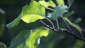 Organic apple leaves Stock Photos