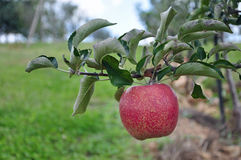 Organic Apple Orchard Stock Images