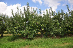 Organic Apple Orchard Royalty Free Stock Images