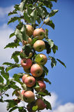Organic Apple Orchard Royalty Free Stock Photography