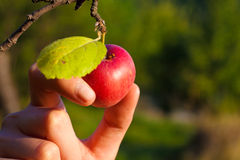 Organic apple picking. Hand picking ripe an organic apple in a tree royalty free stock image