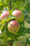 Organic apple tree with fruit at the orchard in Austria, Europe. Stock Image