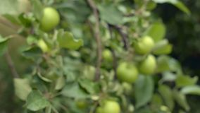Organic apple tree. Heavily laden with unripe. green fruit. Growing in a private orchard. Closeup shot stock video