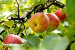 Organic apples Stock Image