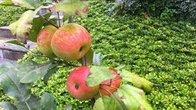 Organic apples on the Apple tree Stock Images
