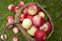 Organic apples in basket. Red juicy apples in the basket on grass Stock Photography