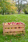 Organic Apples in the Basket Royalty Free Stock Photos