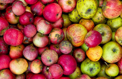 Organic apples in a basket. Background - Organic Apples in a basket Royalty Free Stock Photo