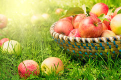 Organic apples in basket, apple orchard. Fresh homegrown produce Royalty Free Stock Photos
