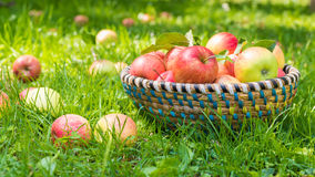 Organic apples in basket, apple orchard Royalty Free Stock Images
