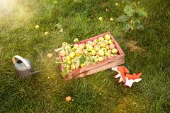 Organic apples in basket, apple orchard, fresh homegrown produce Royalty Free Stock Image