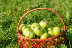 Organic apples in basket, apple orchard, fresh homegrown produce Royalty Free Stock Photos