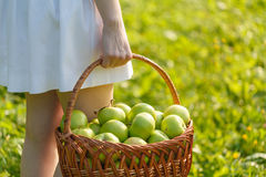 Organic apples in basket, apple orchard, fresh homegrown produce Stock Image