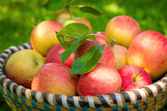 Organic apples in basket, fresh homegrown produce royalty free stock image