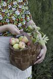 Organic apples in basket Royalty Free Stock Images