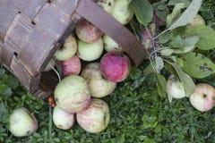 Organic apples in basket Royalty Free Stock Image