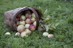 Organic apples in basket Stock Photos