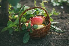 Organic apples and in a basket Stock Photos