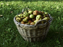 Organic apples in the basket. Just picked Stock Images