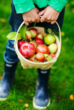 Organic apples in a basket Stock Photos