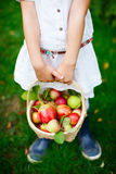 Organic apples in a basket Royalty Free Stock Photo
