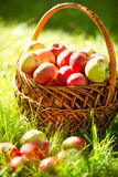 Organic Apples in the Basket. Orchard royalty free stock photos