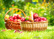 Organic Apples in the Basket. Orchard. Garden Stock Photos