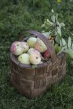 Organic apples in basket Royalty Free Stock Photography