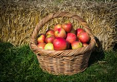 Organic Apples in a Basket . Organic Apples in a Basket outdoor Stock Photography