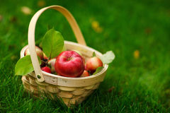 Organic apples in a basket Stock Images
