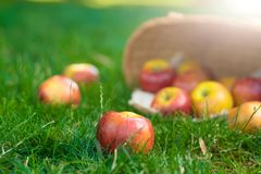 Organic apples in basket in summer grass. Fresh apples in nature stock image