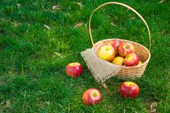 Organic apples in basket in summer grass. Fresh apples in nature royalty free stock photography
