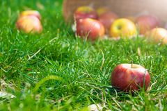 Organic apples in basket in summer grass. Fresh apples in nature royalty free stock photos