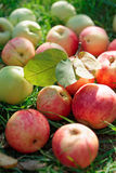 Organic apples gathered in fall Royalty Free Stock Images
