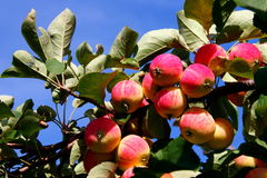 Organic apples. Growing apples on the branch Stock Photo