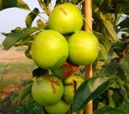 Organic apples growing in saskatchewan Royalty Free Stock Image