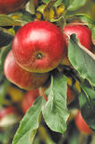 Organic apples hanging from a tree branch Royalty Free Stock Images