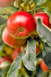 Organic apples hanging from a tree branch Stock Photos