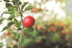Organic apples hanging from a tree branch Stock Images